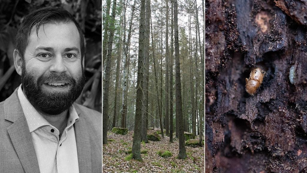 Forskaren Martin N Andersson, en skog och en granbarkborre.