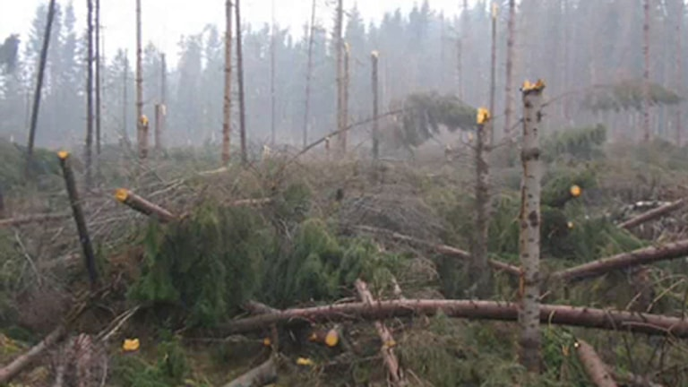 Stormfälld skog efter Gudrun. Foto: Ola Hemström/Sveriges Radio