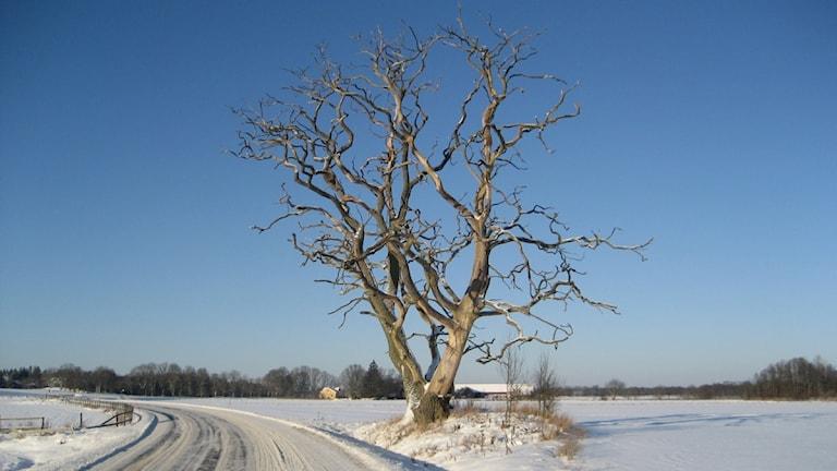 Vinterväglag på liten väg med snö.. Foto: Tomas Lindberg/Sveriges Radio