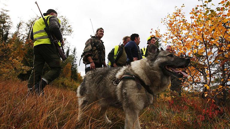 Jakthund och jägare under älgjakten. Foto: Gorm Kallestad/Scanpix