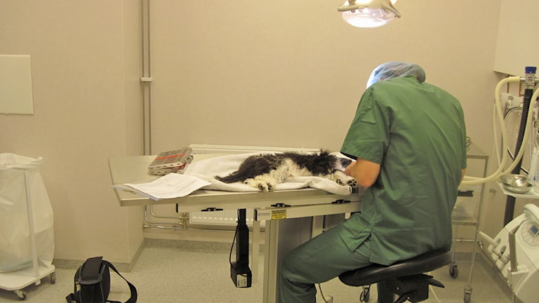 Veterinär och katt.