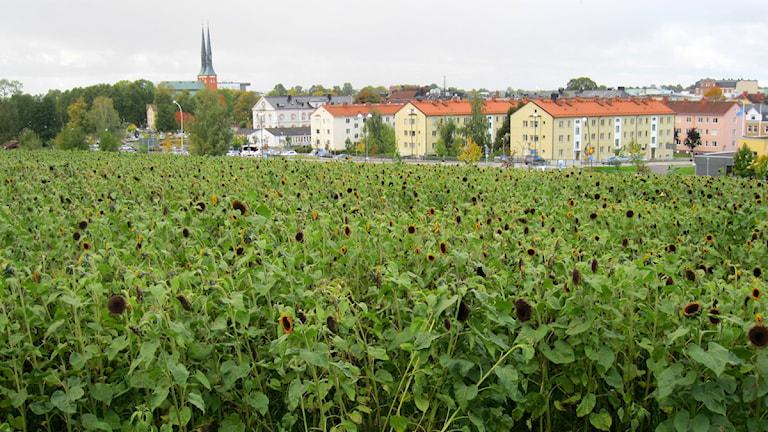 Solrosodling. Foto: Roger Bergvik/Sveriges Radio