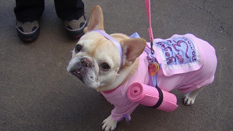 En hund klädd i rosa overall