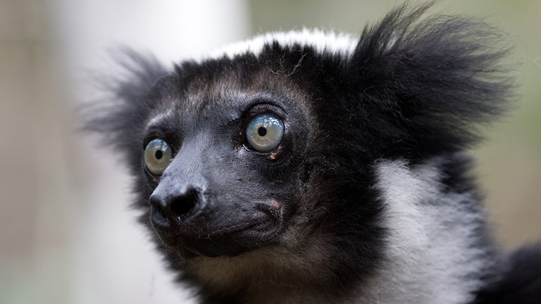 Såhär ser en lemur ut. Roland Johansson/TT