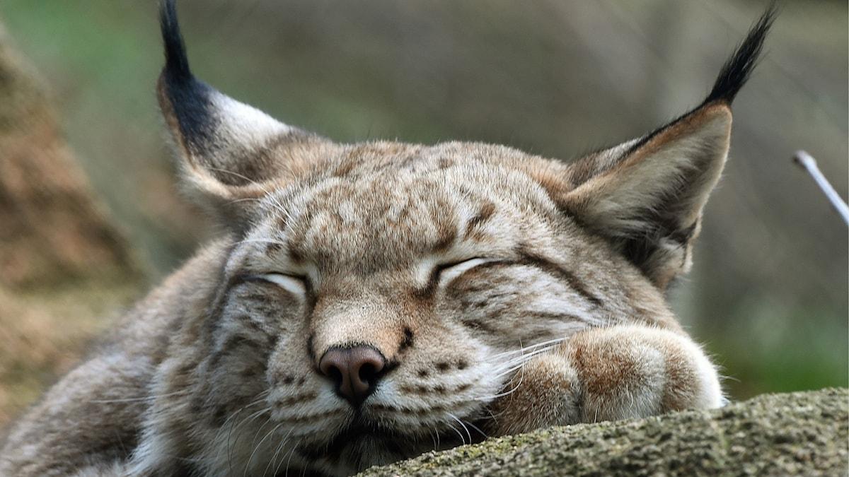 Ett lodjur som ligger och sover.