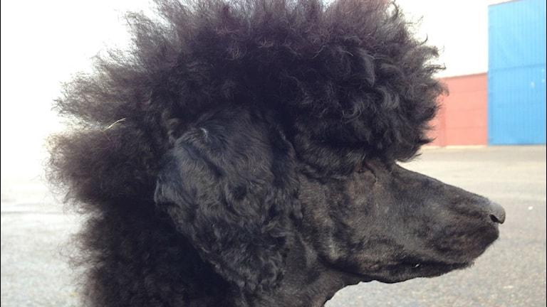 Mellanpudeln Donna med snygg frisyr. Foto: Sara Bäckmo/ Sveriges Radio