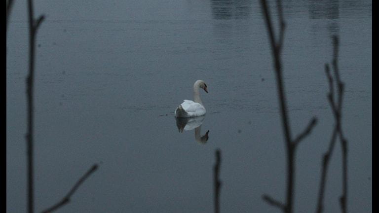 Svanen på isen. Foto: Lars-Peter Hielle/Sveriges Radio