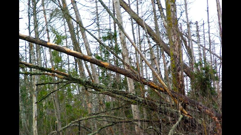 Gallring i äldre granskog ökar risken för stormfällning. Foto: Tomas Lindberg