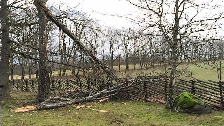 Flera träd har blåst ner, här är ett i Ljungbytrakten. Foto: Per Brolléus/Sveriges Radio