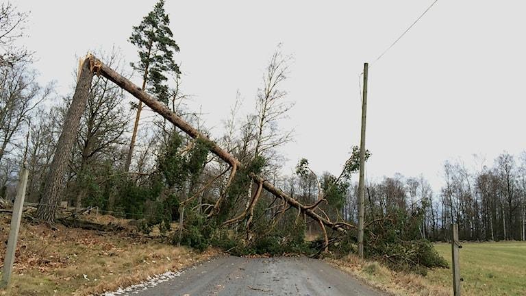 Träd som föll under stormen Egon.