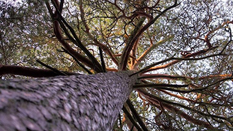 Skog, tall, stam, träd