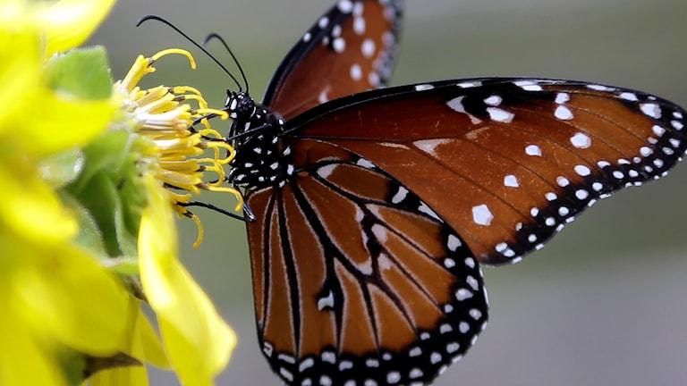 En fjäril på en blomma.