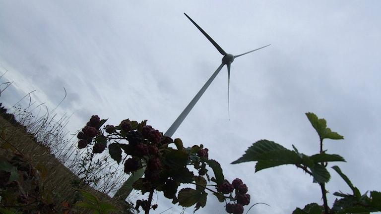 Vindkraftverk ute på ett fält. Växtlighet i förgrunden. Foto: Simon Leijnse/Sveriges Radio.