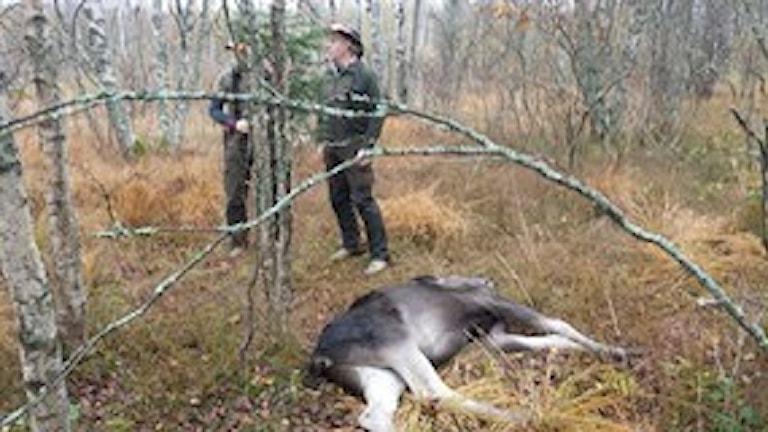 Så här såg det ut på förra årets älgjakt i länet. Foto: Peje Johansson/Sveriges Radio