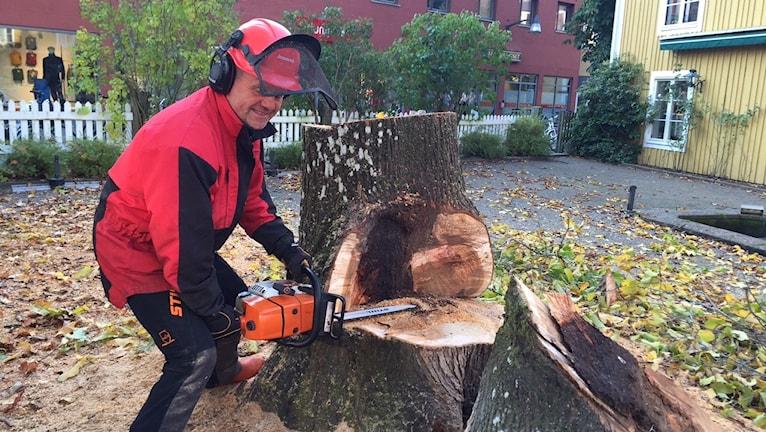 Bosse Lindblom fäller trädet vid Askelyckan i Växjö. Foto: Peje Johansson/Sver