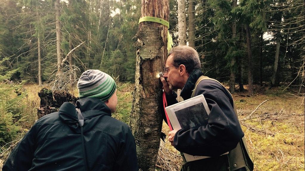 Krister Tuvesson tittar med lupp på en stam. Han söker efter ovanliga lavar