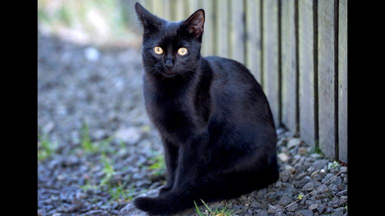 En svart katt.