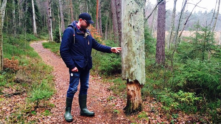 Bilden visar ett  träd som är halvruttet och som  står på en stig intill elljusspåret