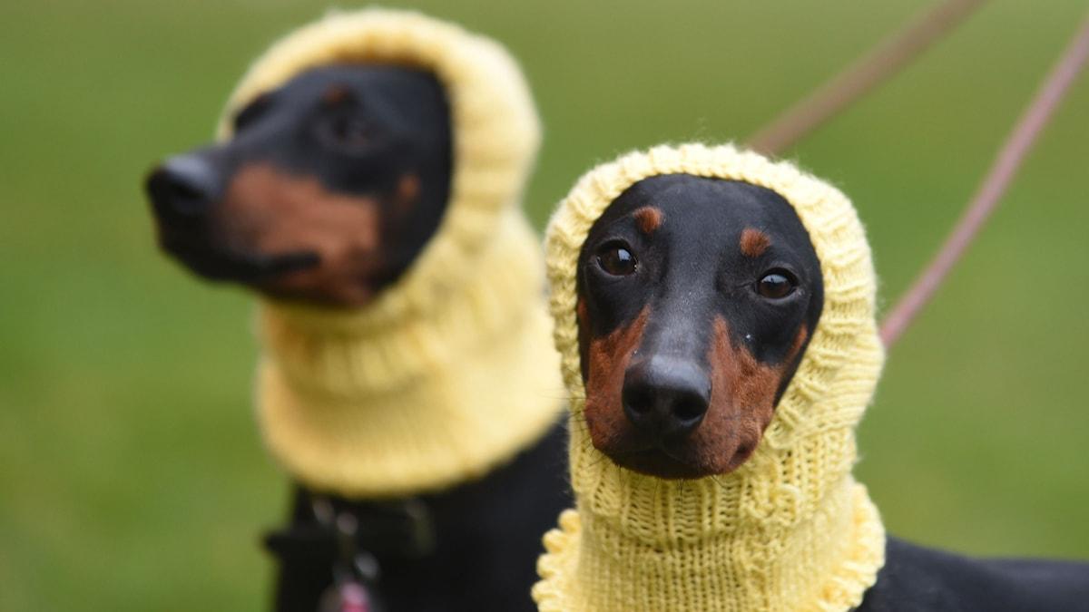 Hundar med gula huvor.