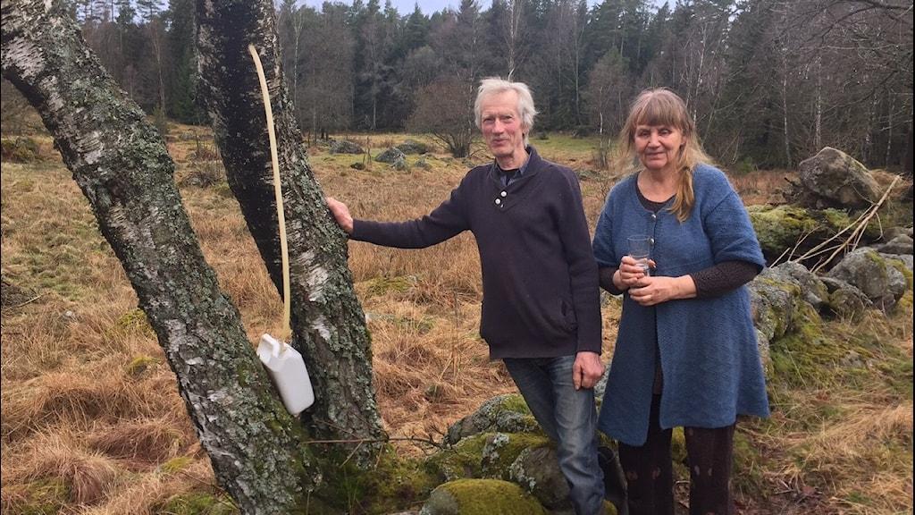 Sigvard Andervad och Anna Liljeqvist tappar björksav. Foto: Peje Johansson/Sveriges Radio