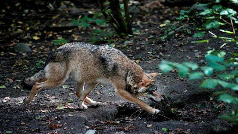En varg spatserar i skogen.