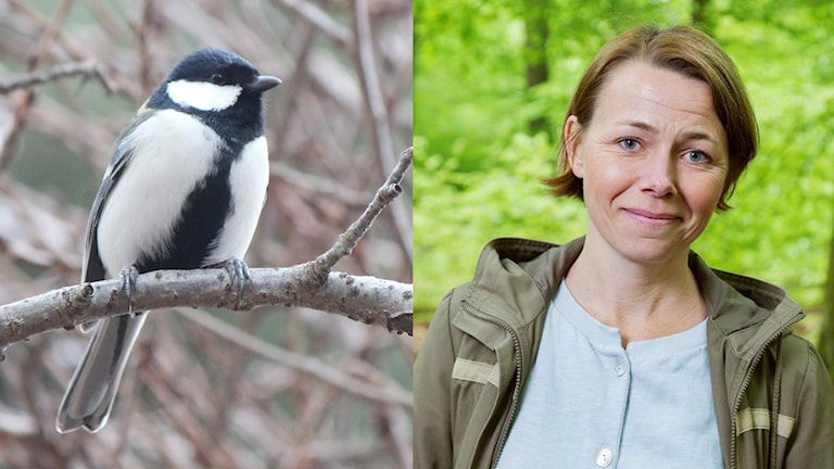 Natur-Jenny och Japansk talgoxe