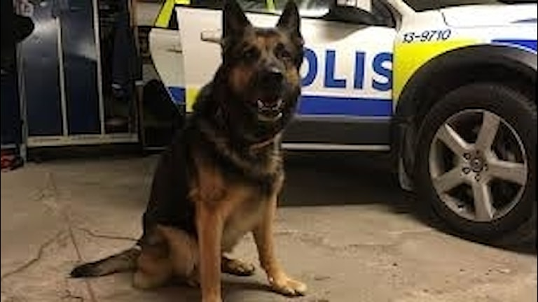 Det finns färre polishundar i dag inom polisens Region Syd. Foto: Sveriges Radio