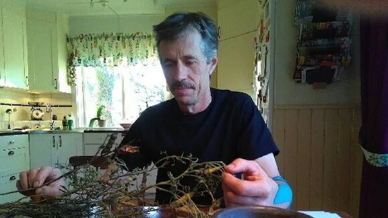 Tore Engström granskar en lupin som kommer från hasn första skörd.