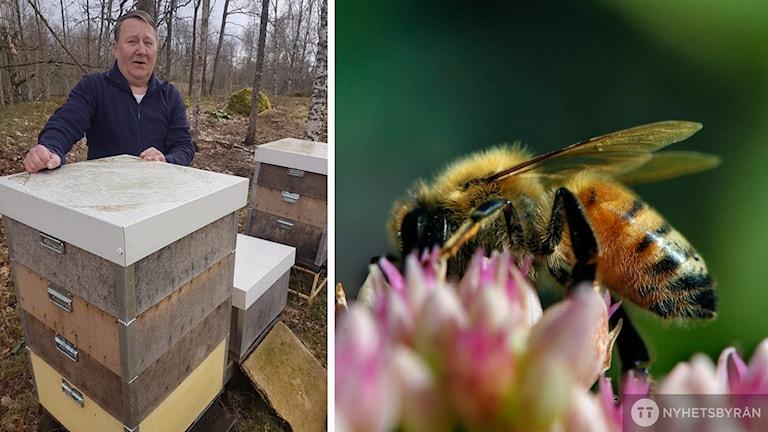 Biodlaren Leif Olofsson står vid sina bikupor och en bild på ett bi. Montage.