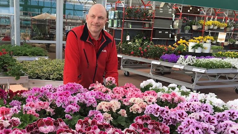 Trädgårdskunnige Mats Nilsson står bland en mängd penséer.