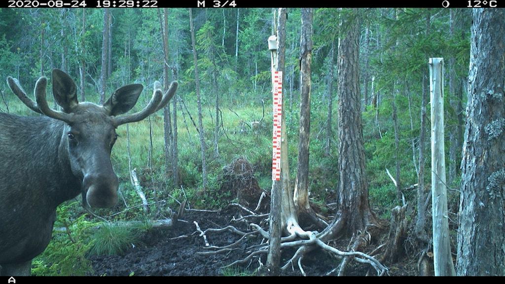 En älg tittar rakt in i en kamera som satts upp ute vid en saltsten i skogen