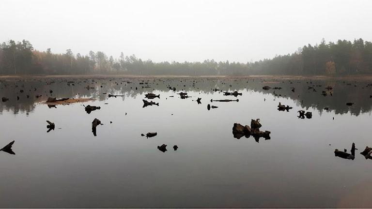 Fullt med stubbar syns i sjön Bolmen. Bakom syns träd.
