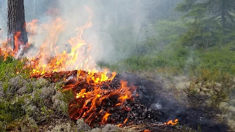 Genrebild från en skogsbrand.