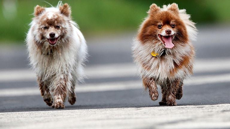 Två hundar som är ute på promenad.