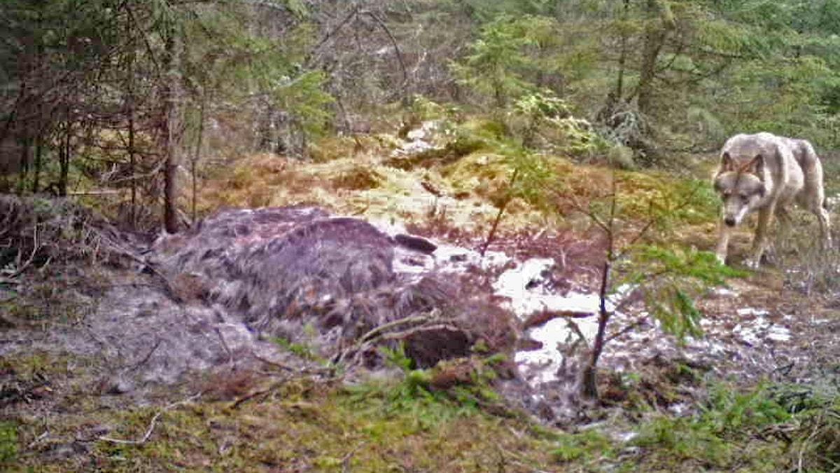 En varg i skogen på väg mot ett älgkadaver.