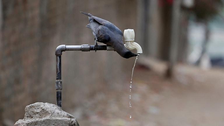 En kråka dricker vatten.