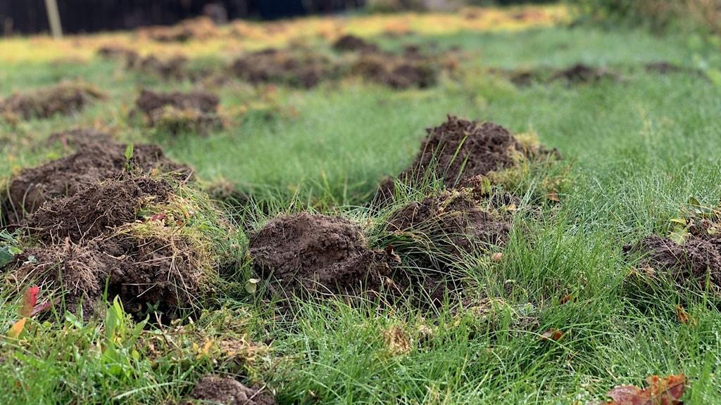 uppbökad gräsmatta av vildsvin