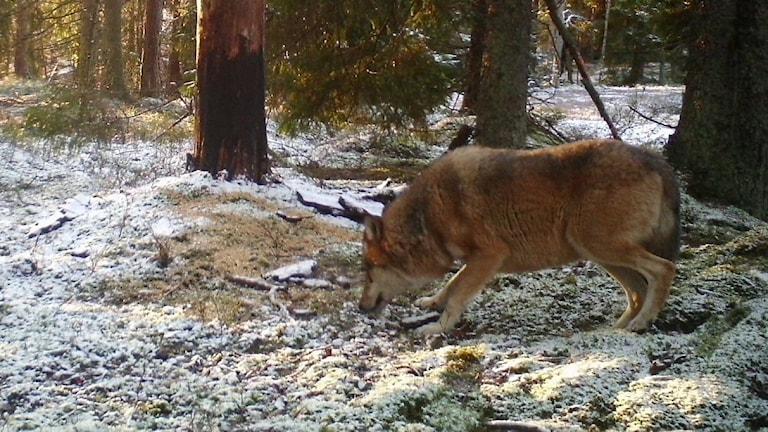 Varg tassar fram på lätt snötäckt mark i skogen.