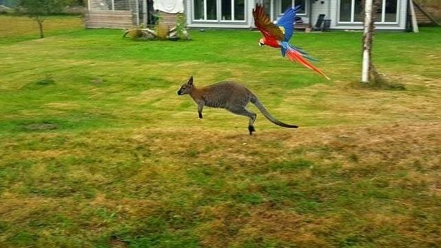 Wallabyn Della hoppar över en gräsmatta tillsammans med en papegoja.