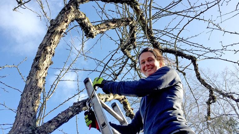 Arboristen Hanna Hallqvist står på en stege med en sekatör och ska beskära ett träd.