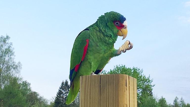 Exotisk fågel i trädgården hos familj i Rinkaby
