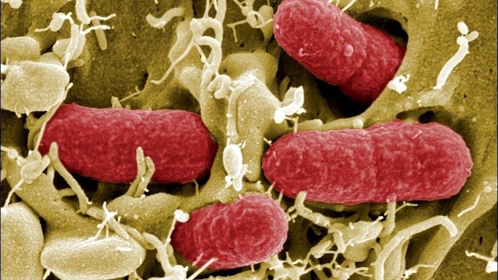 Ehec-bakterie.