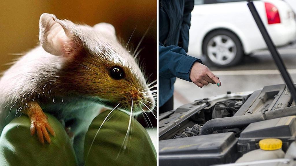 En mus och en motorhuv på en bil.