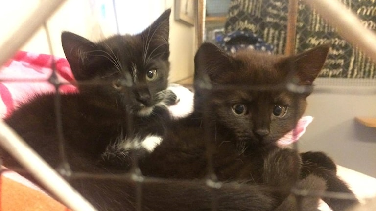 Två svarta katter tittar fram i en bur.