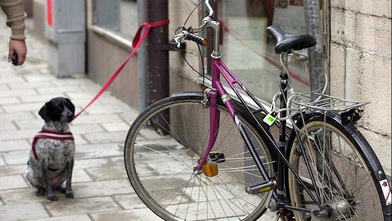 Hund bunden utanför affär. Också en cykel i bild.