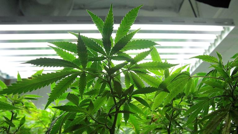 En cannabisodling.