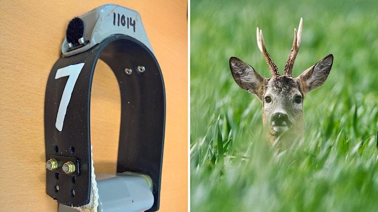 Till vänster gps-halsbandet som sätts runt rådjurets hals, till höger en bild på ett rådjur.