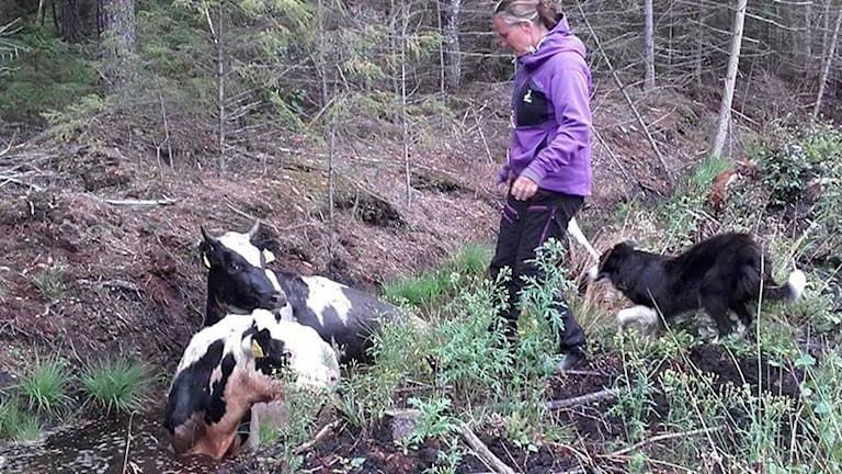 Mariette och hennes vallhund räddar kvigor som ligger i ett dike