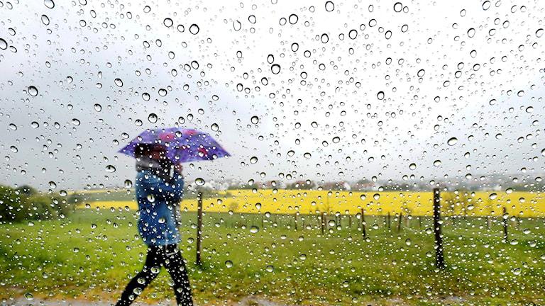 En person går med ett uppfällt paraply utomhus. Det regnar och i bakgrunden syns ett fält av gula blommor.