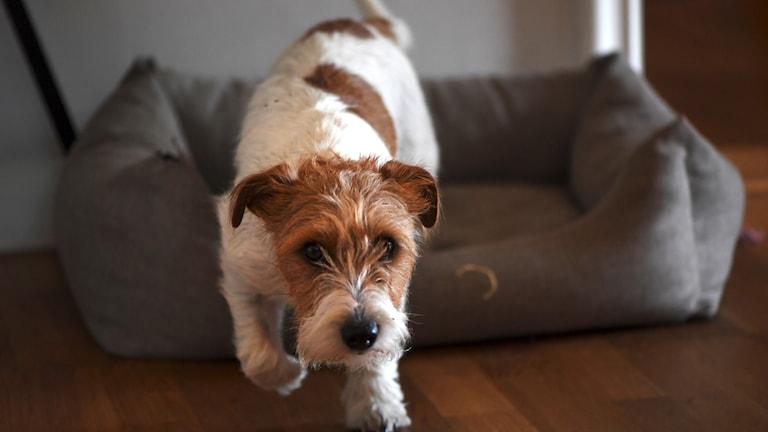 En Jack Russell terrier vid sin hundbädd.